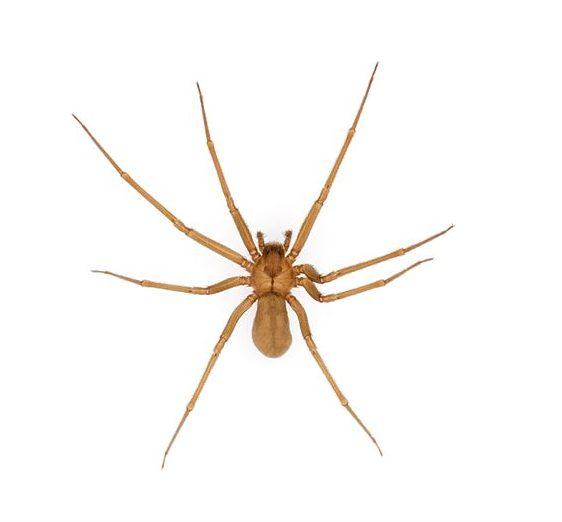Cuidados com aranhas perigosas