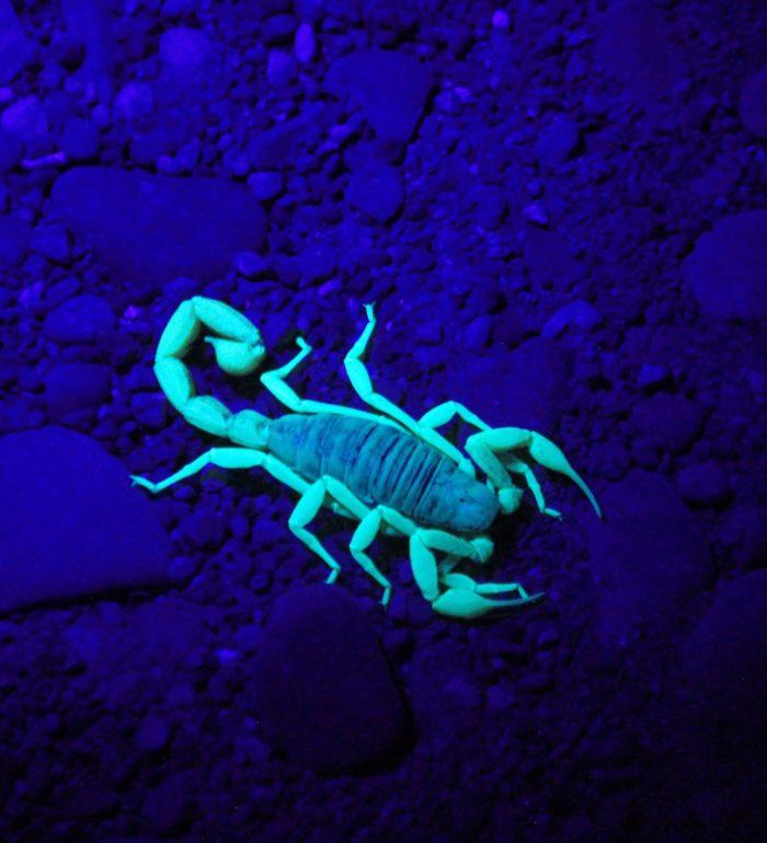 Escorpião andando sobre entulhos