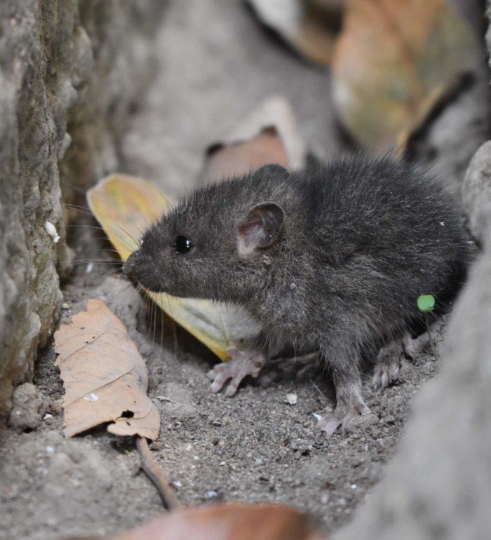 Como evitar infestação de ratos