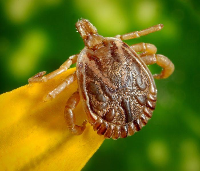 Carrapato-estrela e a febre maculosa